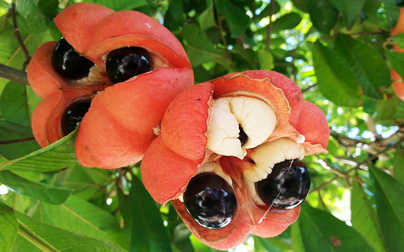 weird-delicious-fruits-ackee